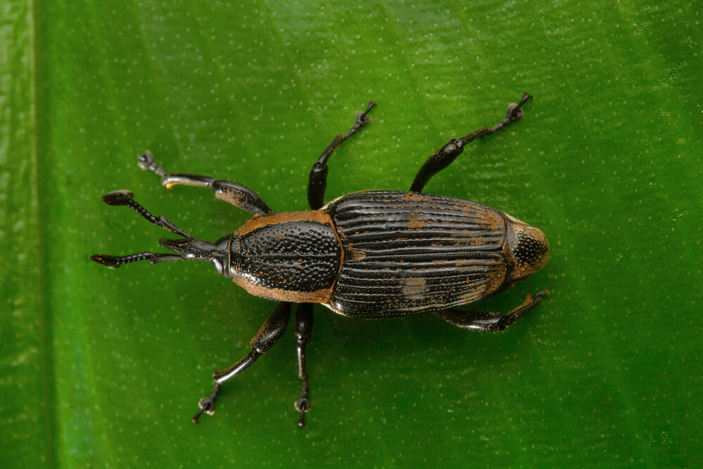 Beetle, Weevil , Aarey Milk Colony , INDIA. A weevil is a type of beetle belonging to the superfamily Curculionoidea. Many species are well know house hold pests of grains.