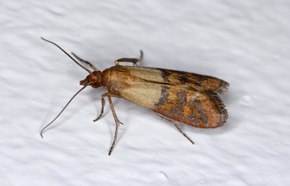 Indian mealmoth Plodia interpunctella of a pyraloid moth of the family Pyralidae is common pest of stored products and pest of food in homes. Moth on wal