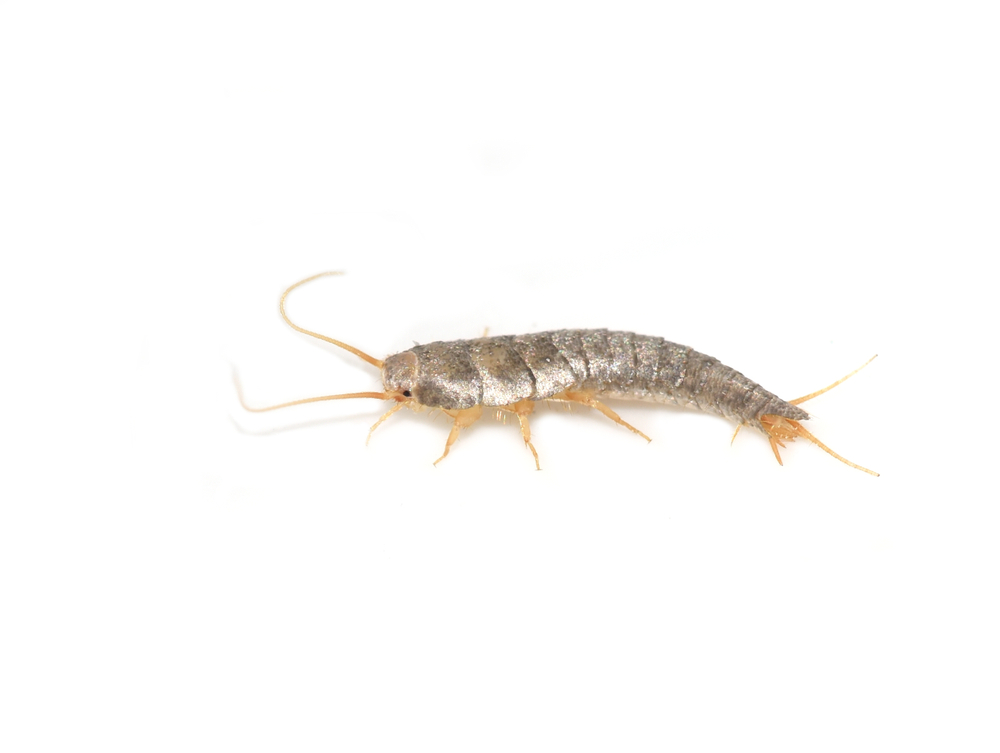 Primitive pest insect silverfish Lepisma saccharina isolated on white background