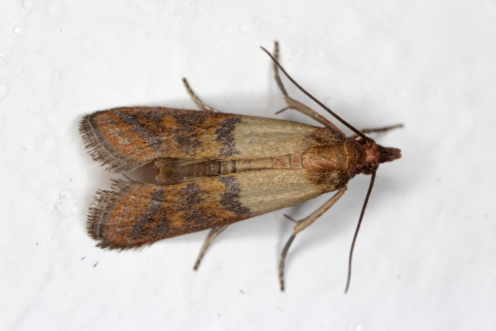 ndian-mealmoth-Plodia-interpunctella-of-a-pyraloid-moth-of-the-family-Pyralidae-is-common-pest-of-stored-products-and-pest-of-food-in-homes.-Moth-on-wall